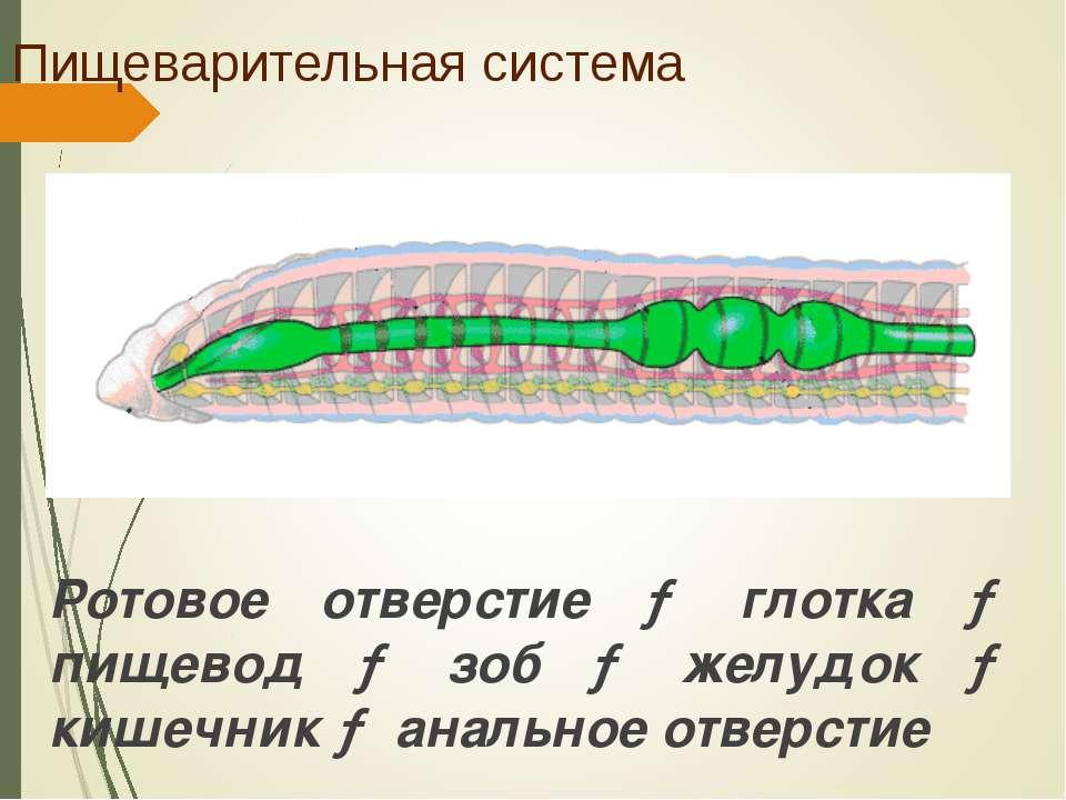 Пищеварительная система Ротовое отверстие → глотка → пищевод → зоб → желудок ...