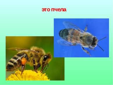 это пчела