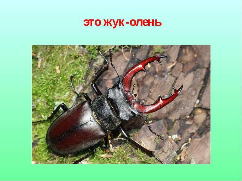 это жук-олень