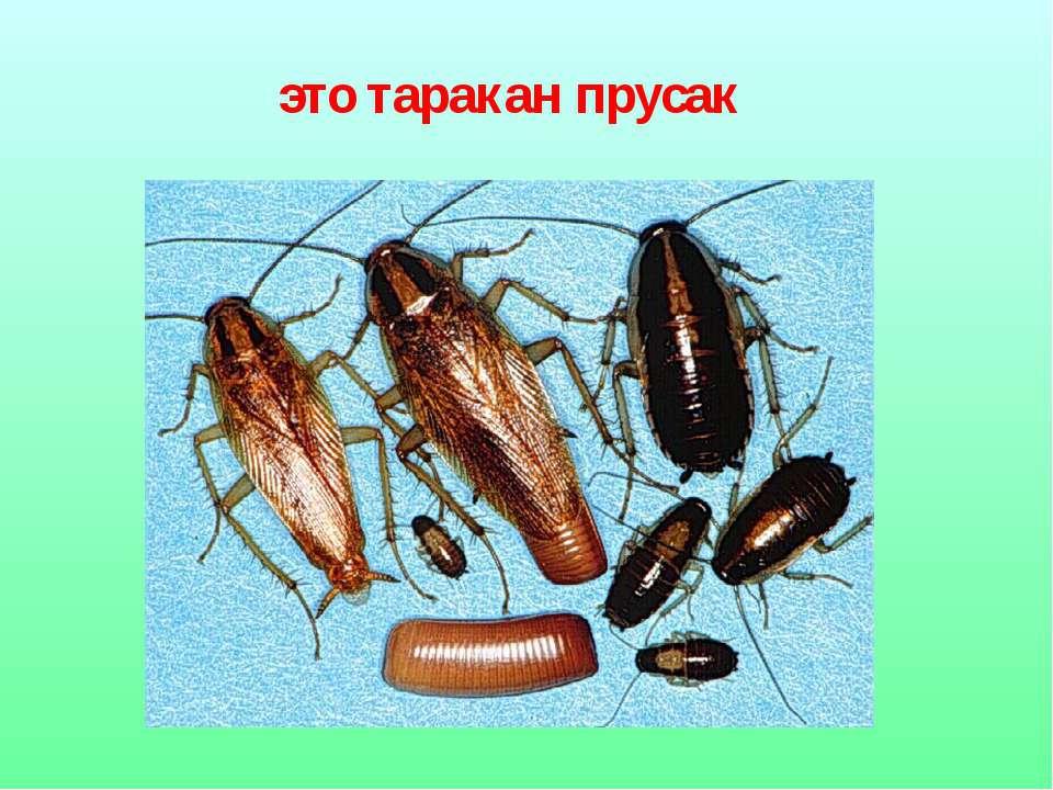 это таракан прусак