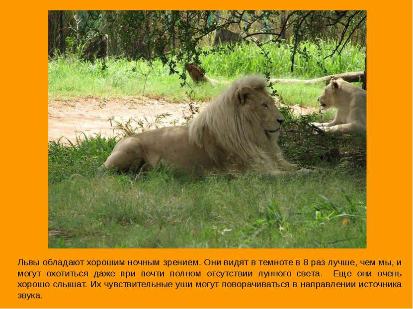 Львы обладают хорошим ночным зрением. Они видят в темноте в 8 раз лучше, чем ...