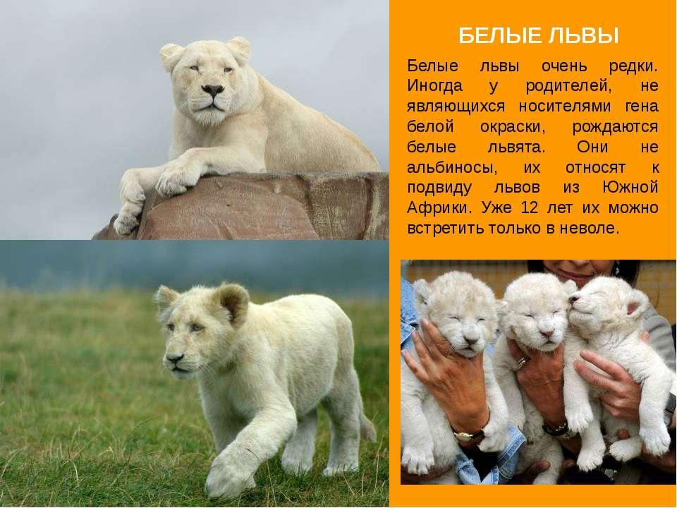 БЕЛЫЕ ЛЬВЫ Белые львы очень редки. Иногда у родителей, не являющихся носителя...