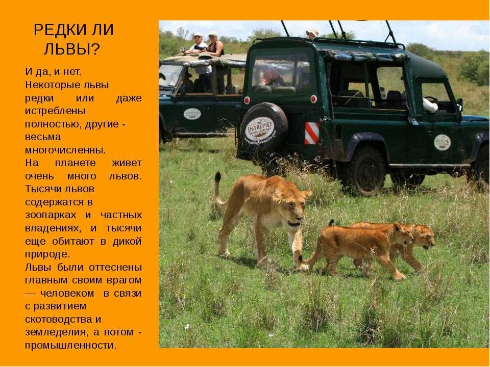 РЕДКИ ЛИ ЛЬВЫ? И да, и нет. Некоторые львы редки или даже истреблены полность...