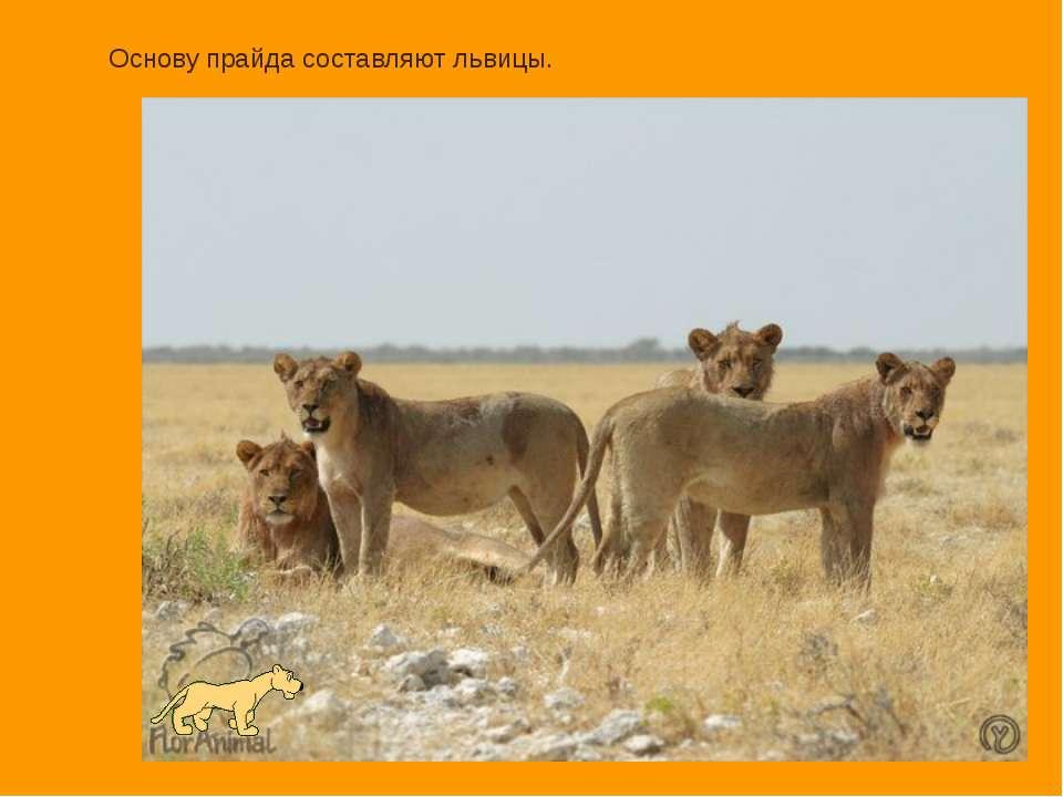 Основу прайда составляют львицы.
