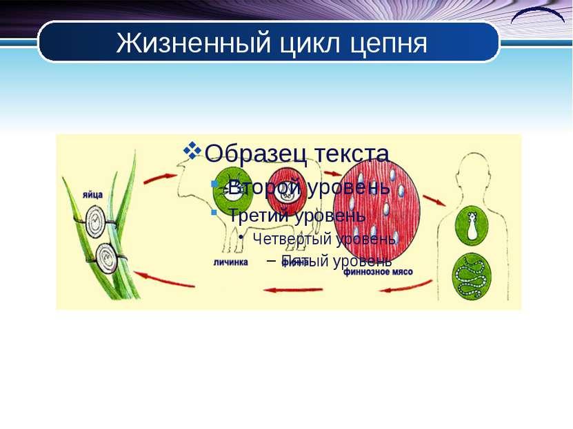 Жизненный цикл цепня