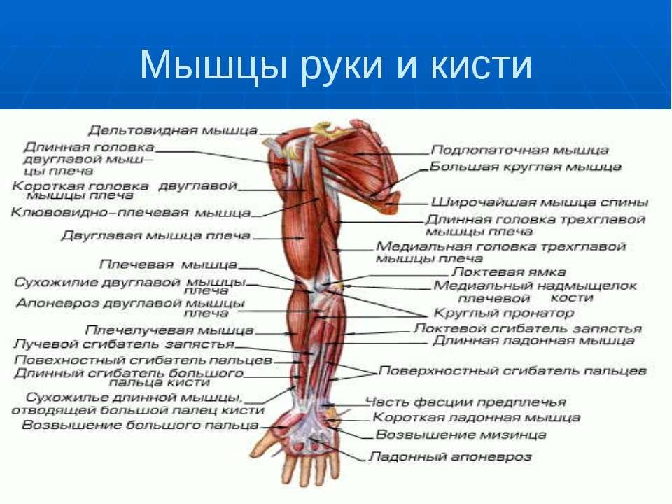 Мышцы руки и кисти