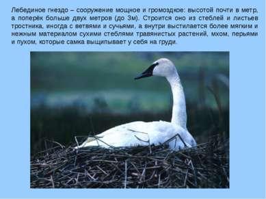 Лебединое гнездо – сооружение мощное и громоздкое: высотой почти в метр, а по...