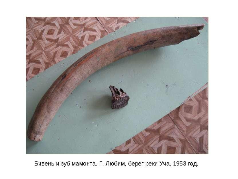 Бивень и зуб мамонта. Г. Любим, берег реки Уча, 1953 год.