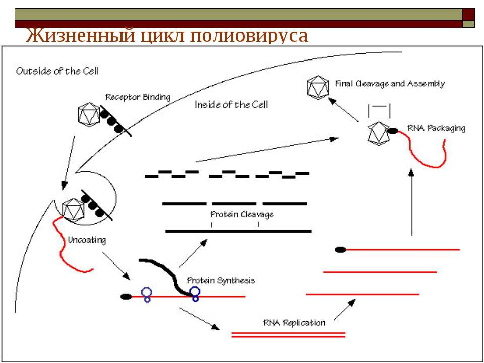 Жизненный цикл полиовируса