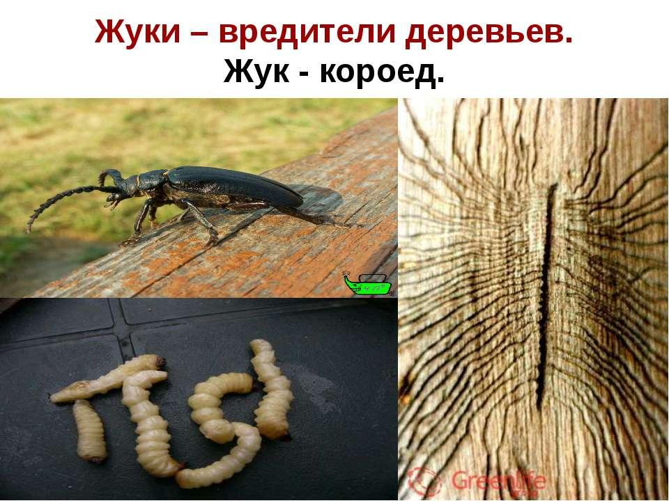 Жуки – вредители деревьев. Жук - короед.