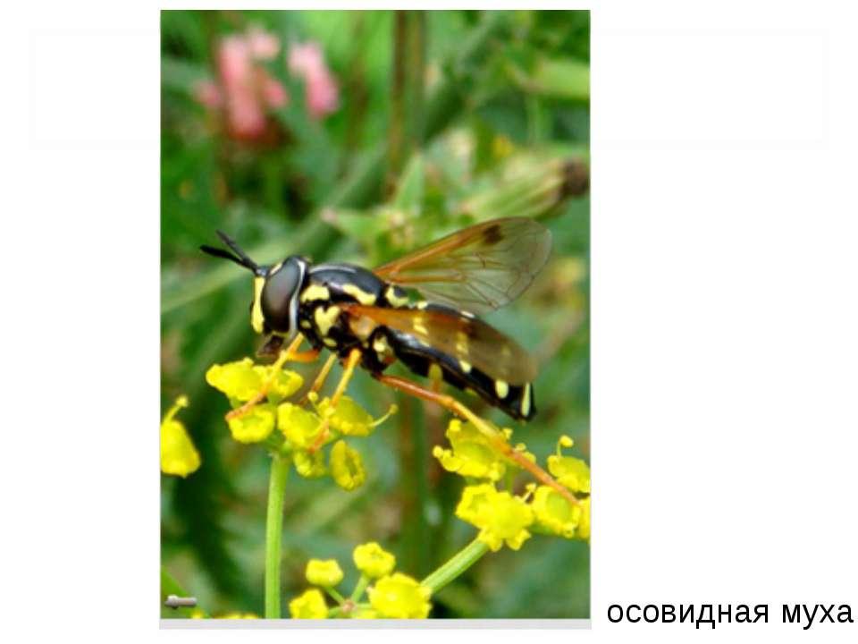 осовидная муха