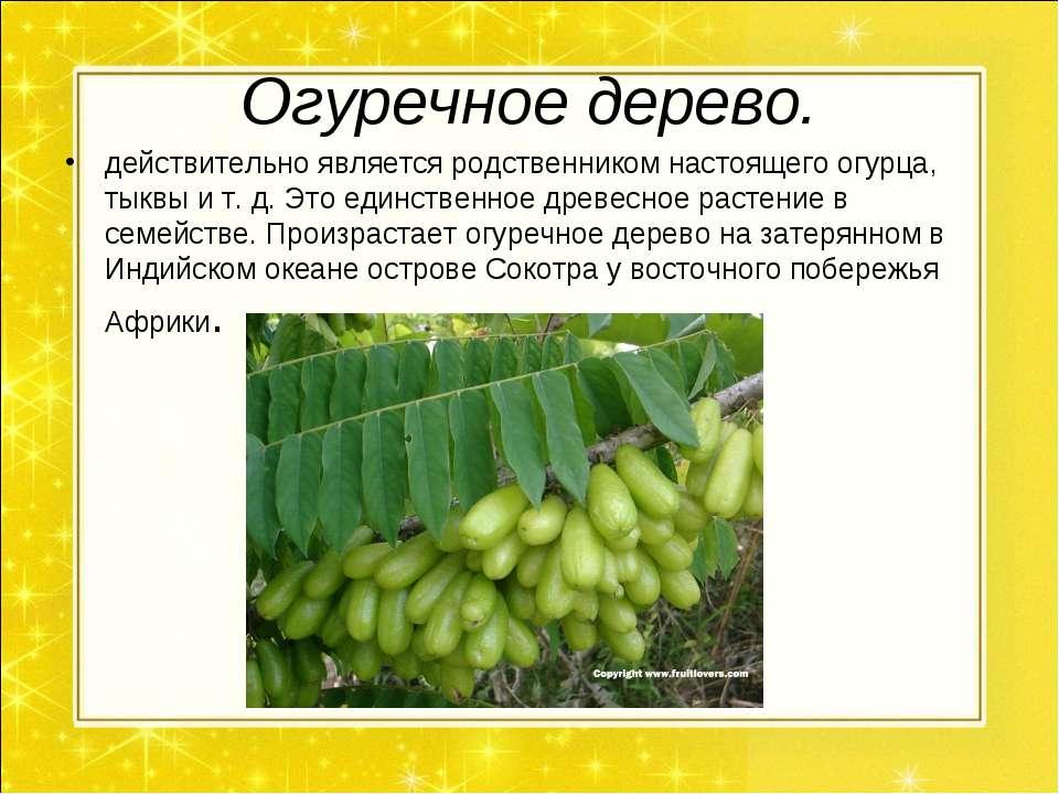 Огуречное дерево. действительно является родственником настоящего огурца, тык...