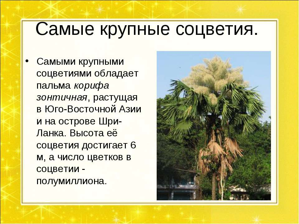 Самые крупные соцветия. Самыми крупными соцветиями обладает пальма корифа зон...