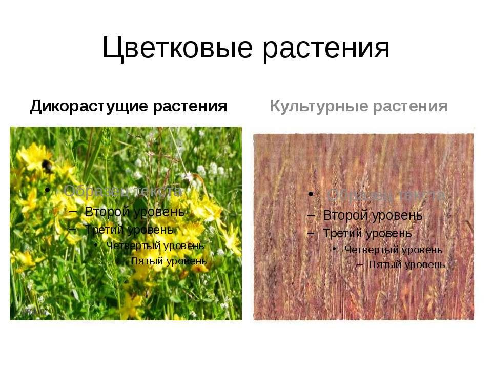 Цветковые растения Дикорастущие растения Культурные растения