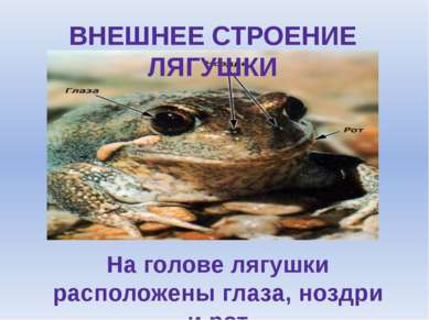ВНЕШНЕЕ СТРОЕНИЕ ЛЯГУШКИ На голове лягушки расположены глаза, ноздри и рот