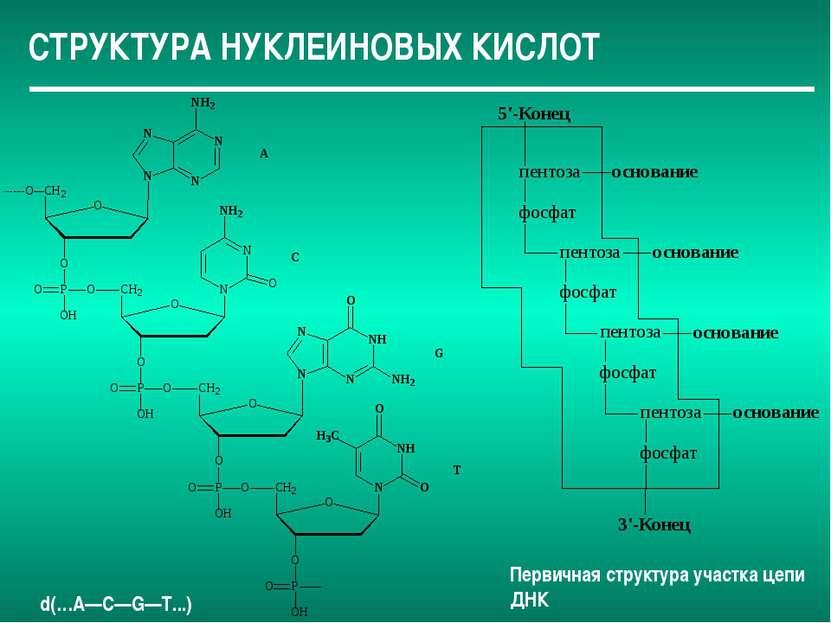 СТРУКТУРА НУКЛЕИНОВЫХ КИСЛОТ Первичная структура участка цепи ДНК d(…A—С—G—Т...)