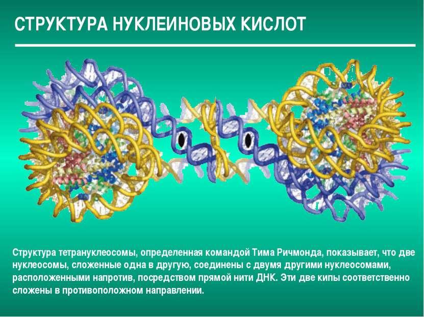 СТРУКТУРА НУКЛЕИНОВЫХ КИСЛОТ Структура тетрануклеосомы, определенная командой...