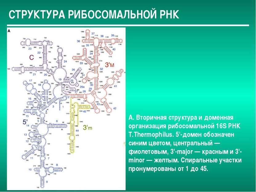 СТРУКТУРА РИБОСОМАЛЬНОЙ РНК А. Вторичная структура и доменная организация риб...