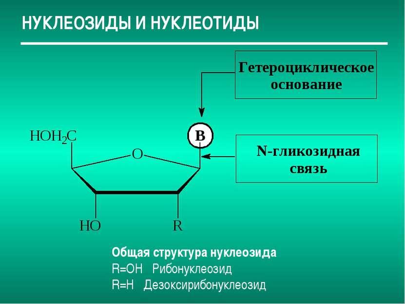 НУКЛЕОЗИДЫ И НУКЛЕОТИДЫ Общая структура нуклеозида R=OH Рибонуклеозид R=H Дез...