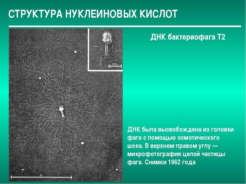 СТРУКТУРА НУКЛЕИНОВЫХ КИСЛОТ ДНК бактериофага Т2 ДНК была высвобождена из гол...