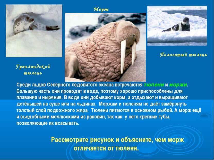 Морж Полосатый тюлень Гренландский тюлень Среди льдов Северного ледовитого ок...