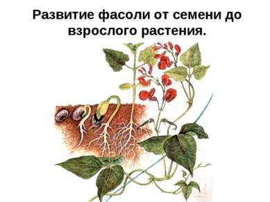 Развитие фасоли от семени до взрослого растения.