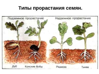 Типы прорастания семян.