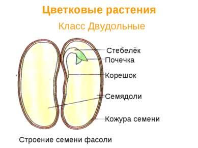 Класс Двудольные Цветковые растения Семядоли Кожура семени Корешок Стебелёк П...