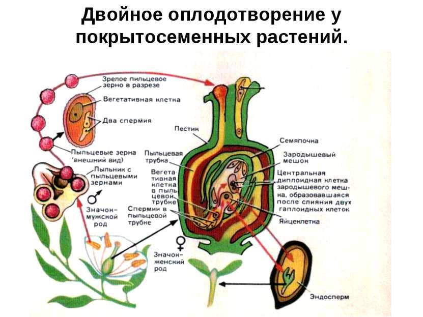 Двойное оплодотворение у покрытосеменных растений.