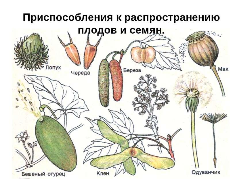 Приспособления к распространению плодов и семян.