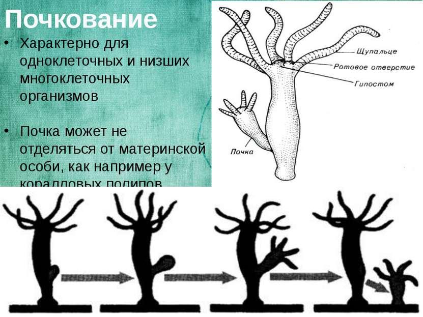 Почкование Характерно для одноклеточных и низших многоклеточных организмов По...