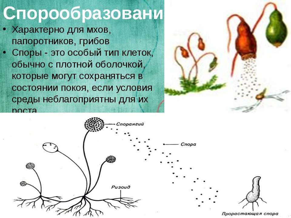 Спорообразование Характерно для мхов, папоротников, грибов Споры - это особый...