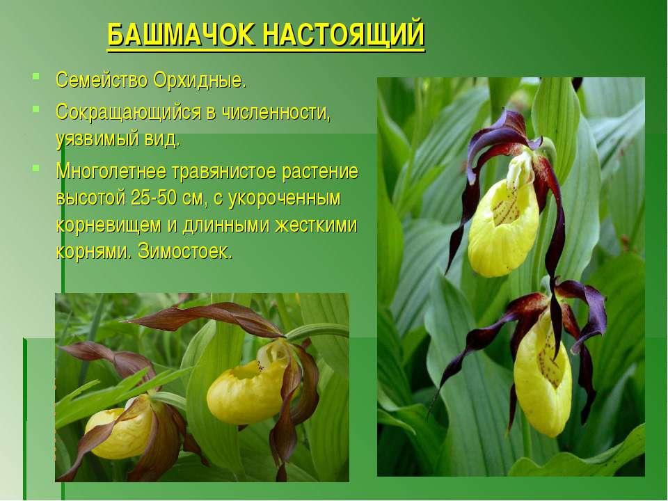БАШМАЧОК НАСТОЯЩИЙ Семейство Орхидные. Сокращающийся в численности, уязвимый ...