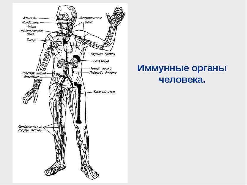 Иммунные органы человека.
