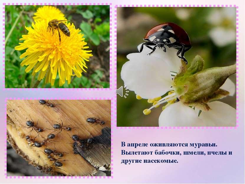 В апреле оживляются муравьи. Вылетают бабочки, шмели, пчелы и другие насекомые.
