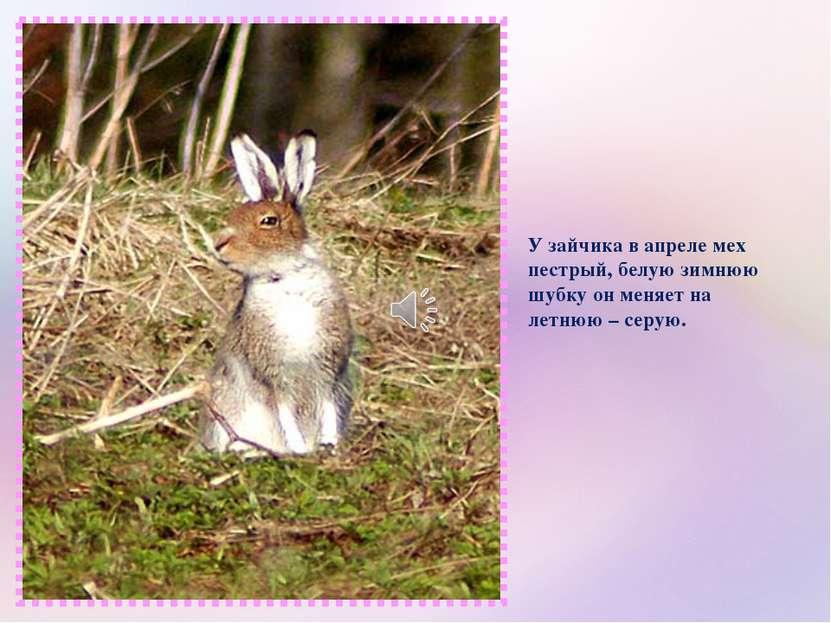 У зайчика в апреле мех пестрый, белую зимнюю шубку он меняет на летнюю – серую.
