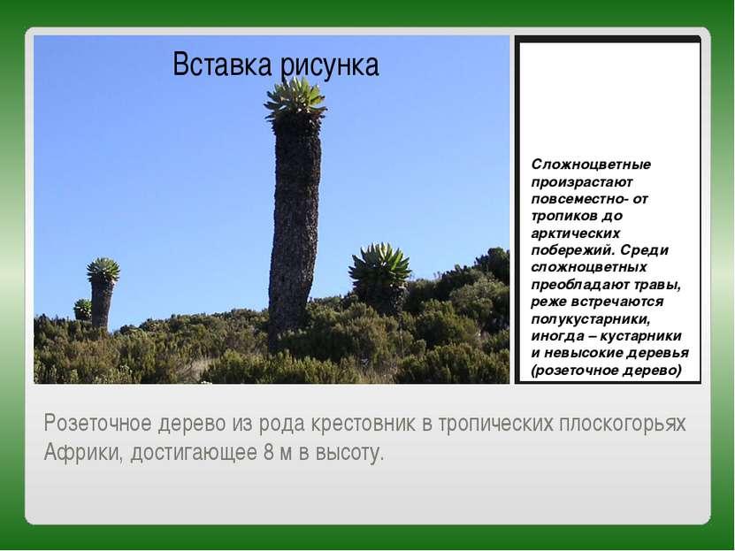 Розеточное дерево из рода крестовник в тропических плоскогорьях Африки, дости...