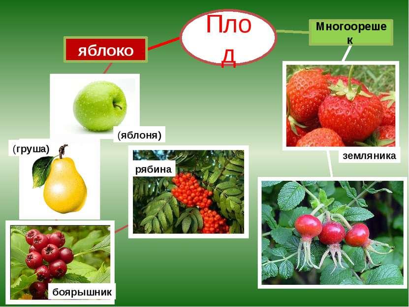 яблоко (яблоня) (груша) рябина боярышник Многоорешек Плод земляника