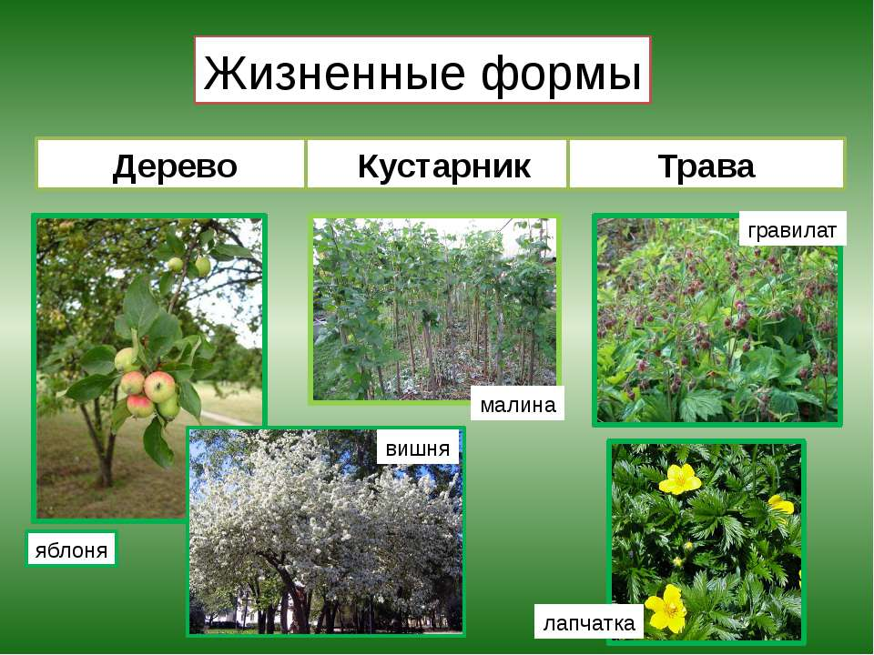 Жизненные формы Дерево Кустарник Трава яблоня вишня малина гравилат лапчатка