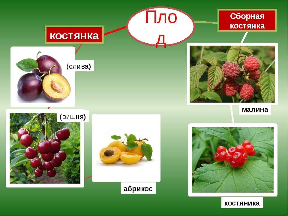 костянка (слива) абрикос Плод малина Сборная костянка (вишня) костяника