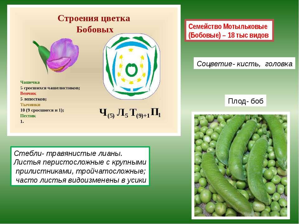 Семейство Мотыльковые (Бобовые) – 18 тыс видов Плод- боб Стебли- травянистые ...