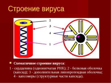 Схематичное строение вируса: 1 - сердцевина (однонитчатая РНК); 2 - белковая ...