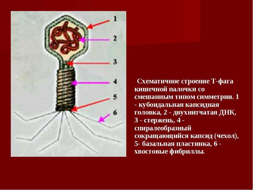 Схематичное строение Т-фага кишечной палочки со смешанным типом симме...