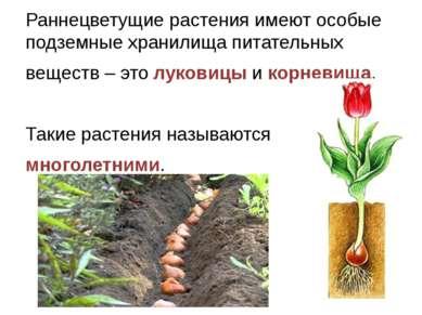 Раннецветущие растения имеют особые подземные хранилища питательных веществ –...