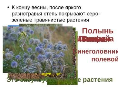 К концу весны, после яркого разнотравья степь покрывают серо-зеленые травянис...