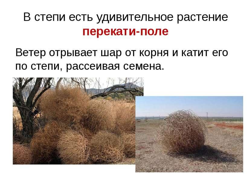 В степи есть удивительное растение перекати-поле Ветер отрывает шар от корня ...
