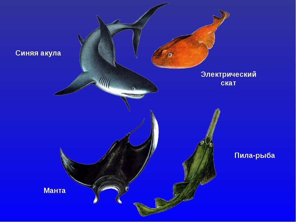 Синяя акула Электрический скат Манта Пила-рыба