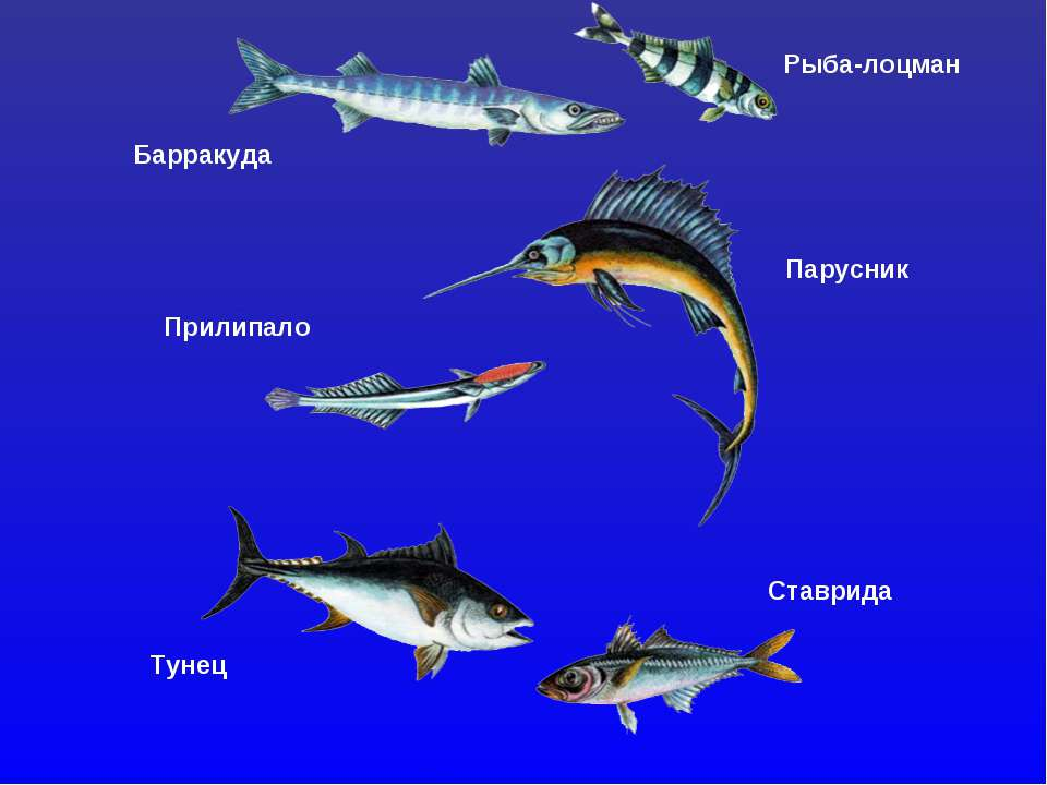 Рыба-лоцман Барракуда Парусник Прилипало Тунец Ставрида