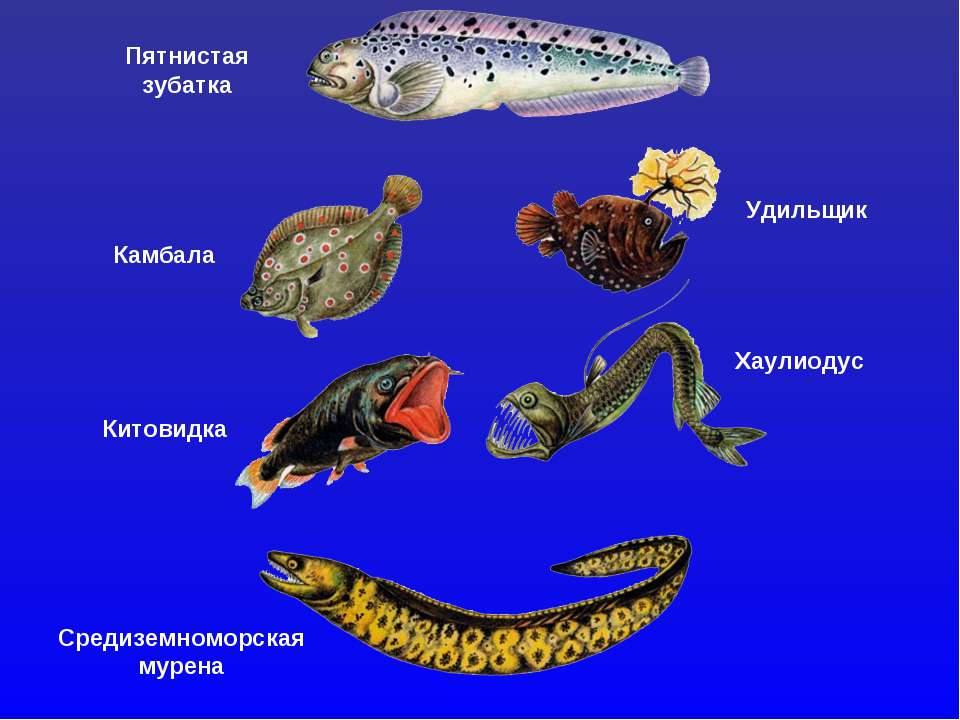 Пятнистая зубатка Удильщик Камбала Китовидка Хаулиодус Средиземноморская мурена