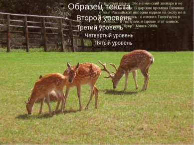 Пятнистые олени. Это не минский зоопарк и не Беловежская пуща. В царские врем...